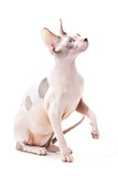 Canadian sphinx cat chocolate harlequin with blue eyes poster
