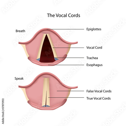 vocal cords eps vector illustration