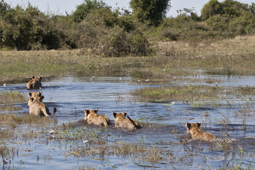 Okavango Swimming cats (lions)-2