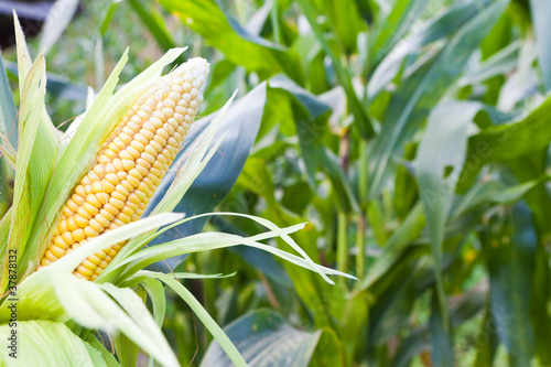 Corn field at mountain