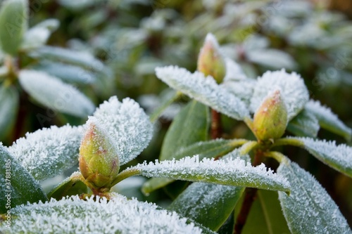 Rhododendron leafs and buds covered with rime frost