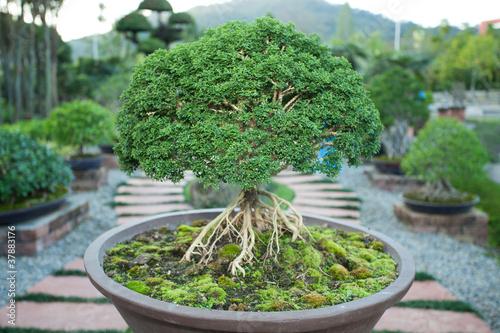 Canvas Bonsai Bonzai plant
