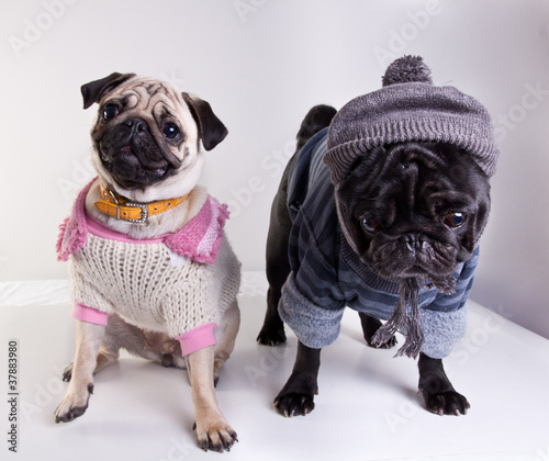 Mops dressed for winter walk
