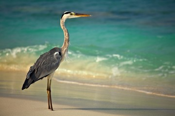 heron is on morning beach