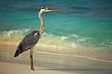 heron is on morning beach