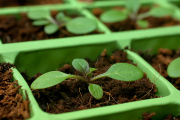 Petunia seedlings in the cell tray (shallow depth of field)