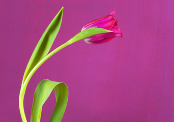 red tulip against pink background, spring flower