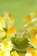Wohltuende Wirkstoffe aus der Natur (Linaria)