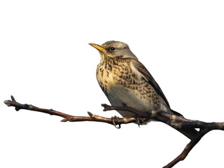 Fieldfare isolated on white background Turdus pilaris