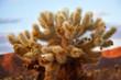 Cholla Cactus Garden Mojave Desert Joshua Tree National Park Cal