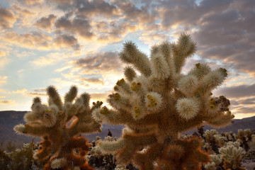 Cholla Cactus Garden Sunset Mojave Desert Joshua Tree National P