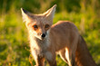 Red fox in Prince Edward Island national park