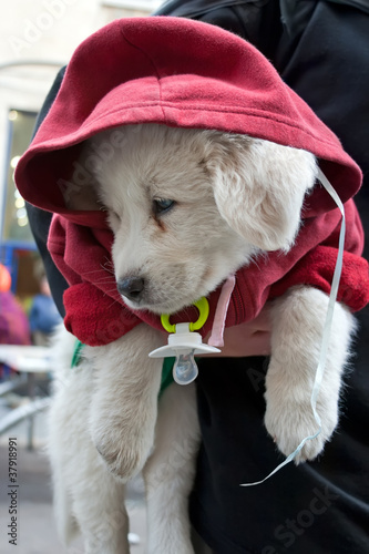 White puppy dressed in a red jacket with a hood.