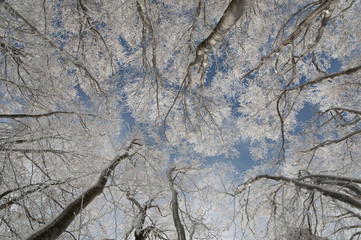 Frozen Beech forest in the winter