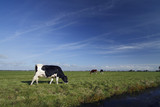 Cow in a typical Dutch landscape