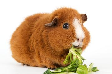 Meerschweinchen mit Salat