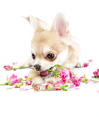 adorable chihuahua puppy with roses