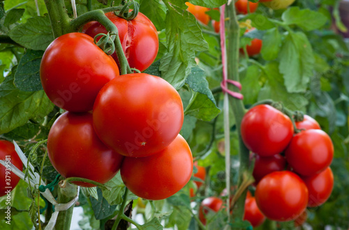 growth ripe tomato