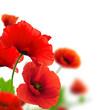 Poppies white background. Environmental design