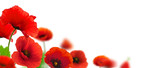 Fototapety flowers, poppies white background. Environmental