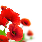 Poppies white background. Environmental design