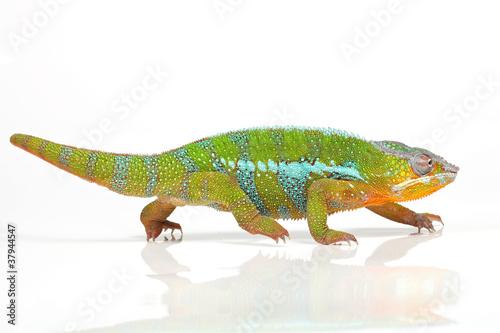 Foto op Canvas Kameleon Chamäleon auf Wanderschaft