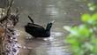 Ente putz sich im Wasser