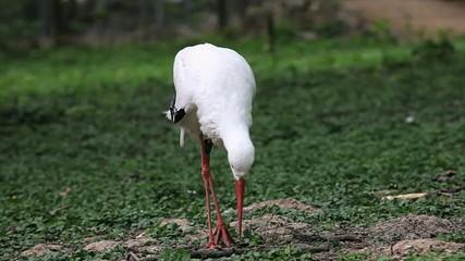 Storch suchend auf der Wiese