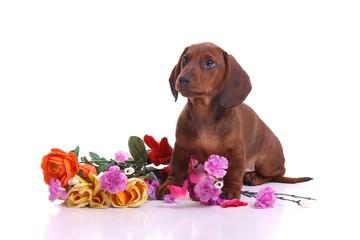 Dackel Welpe mit Blumen