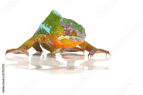 Poster Kameleon Grimmig