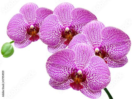 Orchidea samodzielnie na białym tle