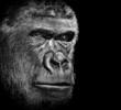 Fototapeten,afrika,affe,gorilla,urwald