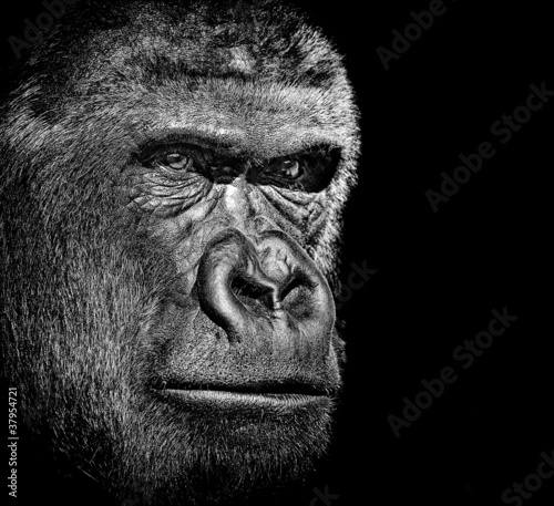 Poster Aap Gorilla portrait