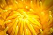 Closeup yellow pollen of lotus flower