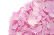 Beautiful Pink Hydrangea Flowers on White Background