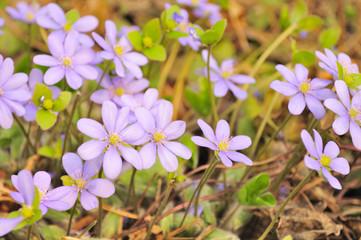 Pink Hepatica Nobilis (Liverleaf) Flowers in Early Spring