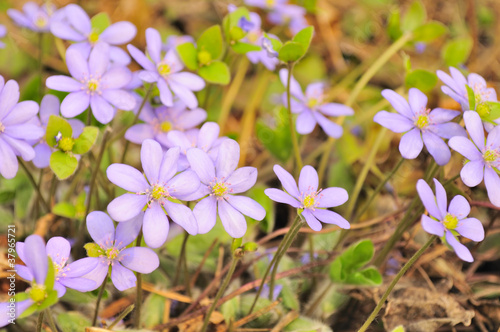 Pink Hepatica Nobilis (Liverleaf) Flowers in Early Spring