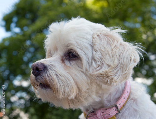 Head of vigilant havanese dog