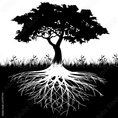 Fototapeta Tree roots silhouette