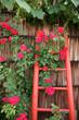 Rosen mit roter Leiter