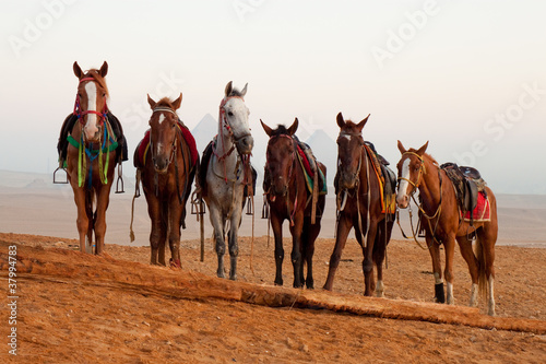 horses in desert near  pyramids in Giza