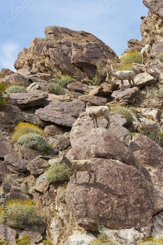 Foto op Plexiglas Cyprus Desert Bighorn Sheeps in Anza Borrego Desert. California, USA