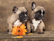 couple in love French bulldogs