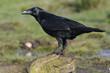Raven ( Corvus corax)