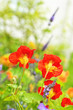 Beautiful red nasturtium in the garden