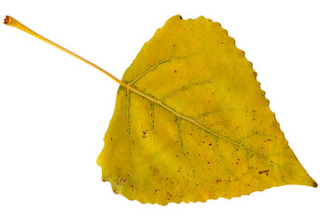 leaf of poplar