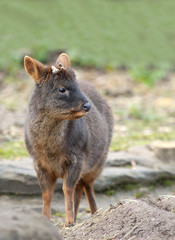 Close up of a Male Pudu