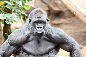 Gorilla - silverback gorilla