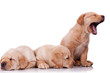 little labrador retriever puppies