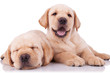 two adorable little labrador retriever puppies